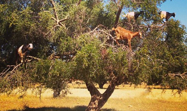 Travel Queeriosity: Tree-Climbing Goats?